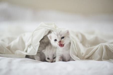 Photo pour Newborn American Shorthair kittens sitting on white bed - image libre de droit