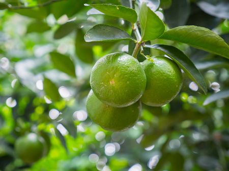 Photo for Close up limes hanging on tree - Royalty Free Image