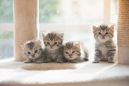 Foto de Group persian kittens sitting on cat tower - Imagen libre de derechos