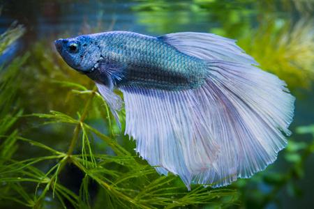 Foto de Close up of Metalic half moon Siamese fighting fish in a fish tank - Imagen libre de derechos