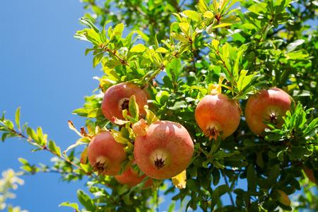 Photo pour Pomegranate against blue sky background - image libre de droit