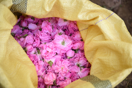 Photo for Harvesting the damask roses in Kalaat M'Gouna, Morocco - Royalty Free Image