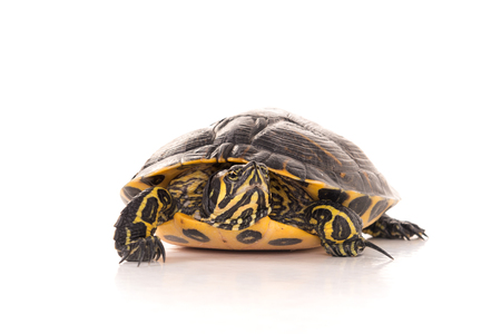 Photo for Cute little turtle isolated in a white background - Royalty Free Image