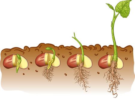 Illustration pour Seed bean plant - image libre de droit
