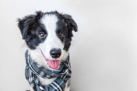 Photo pour Funny studio portrait of cute smilling puppy dog border collie wearing warm clothes scarf around neck isolated on white background. Winter or autumn portrait of new lovely member of family little dog - image libre de droit