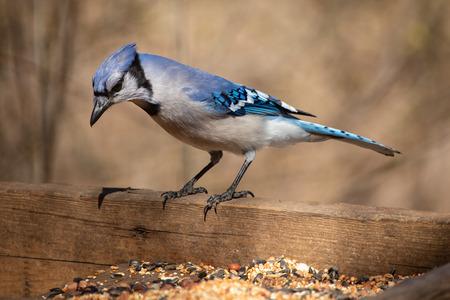 Foto de Nature Wildlife Passerine Birds House Blue Jay Eye Catch Light - Imagen libre de derechos