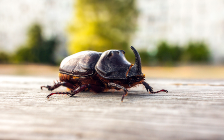 Photo pour giant beetle beetle close-up, an unusual insect beetle with a horn at sunset. - image libre de droit