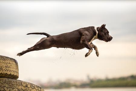Photo pour American Staffordshire Terrier in jump - image libre de droit