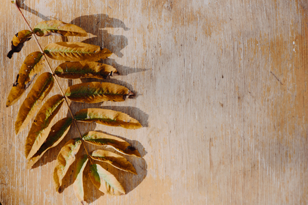 Photo for Green leaf fallen from mountain ash tree on an old wooden background. Summer autumn background of fall leaves on the wooden board, top view - Royalty Free Image