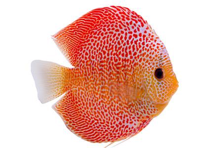 Photo pour Beautiful Discus Penang Eruption fish (Symphysodon) - image libre de droit