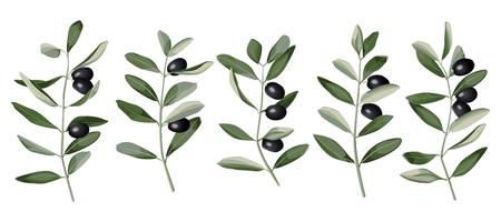 Illustration for Olive Branch Set Vector illustration. - Royalty Free Image