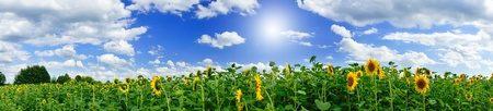 Photo pour Wonderful  panoramic view  field of sunflowers by summertime. - image libre de droit