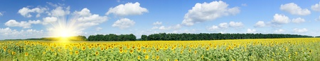 Foto de Wonderful  panoramic view  field of sunflowers by summertime.   - Imagen libre de derechos