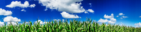 Foto de Green field of young corn under blue sky and sun. - Imagen libre de derechos