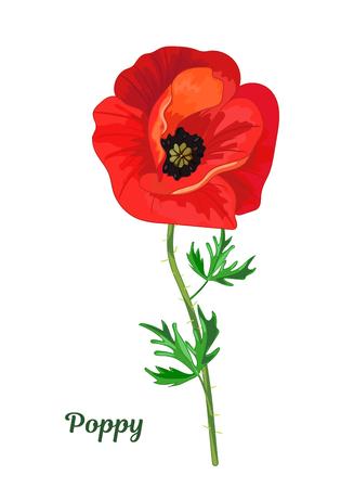 Ilustración de Red poppy with leaves - Imagen libre de derechos