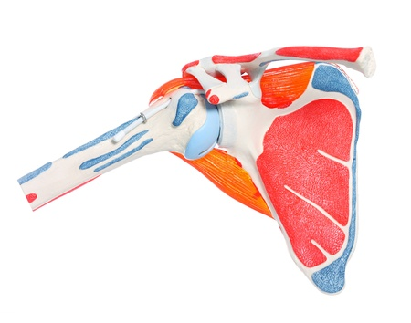 Photo pour A close-up of a shoulder bone, joint and muscles over white background - image libre de droit