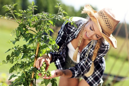 Photo for Adult woman picking tomatoes from vegetable garden - Royalty Free Image