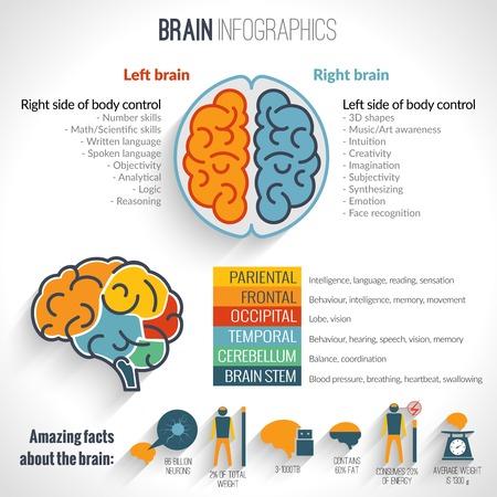 Illustration pour Brain structure left analytical and right creative hemispheres infographics set vector illustration - image libre de droit