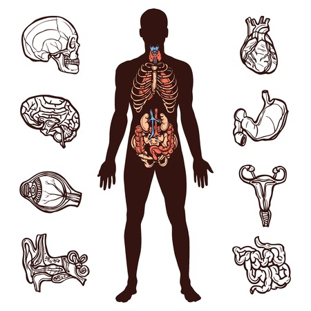 Illustrazione per Anatomy set with sketch internal organs and human figure isolated vector illustration - Immagini Royalty Free