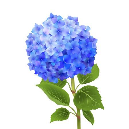 Ilustración de Realistic blue hydrangea flower isolated on white background vector illustration - Imagen libre de derechos