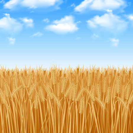 Illustration pour Golden yellow wheat field and summer sky background vector illustration - image libre de droit