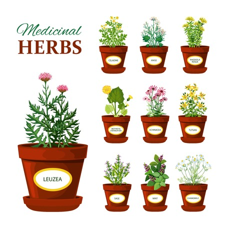 Illustration pour Set of medical herbs in pots with labels of leuzea sage mint mother and stepmother tutsan echinacea isolated vector illustration - image libre de droit