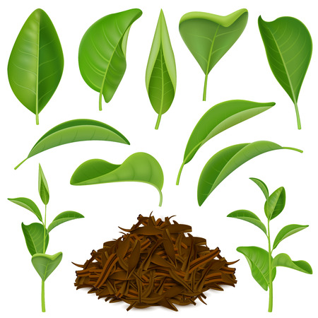 Ilustración de Set of realistic tea leaves with fresh green and dried foliage isolated on white background vector illustration - Imagen libre de derechos