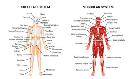 Ilustración de Muscular and skeletal systems anatomy chart. Complete educative guide poster, displaying human figure from front vector illustration. - Imagen libre de derechos