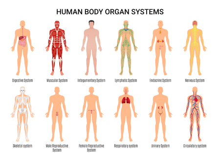Illustration pour Main 12 human body organ systems flat educative anatomy physiology front back view flashcards poster vector illustration  - image libre de droit