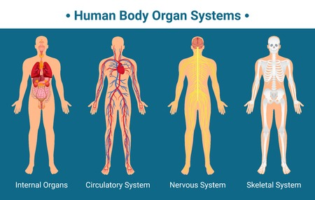 Illustration pour Human body internal organs circulatory nervous and skeletal systems anatomy and physiology flat educative poster vector illustration - image libre de droit