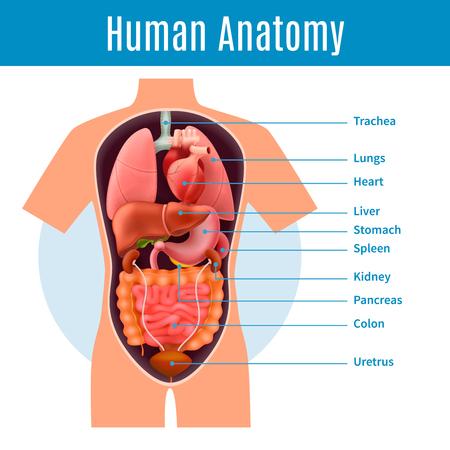 Illustrazione per Human anatomy poster with body organs names realistic vector illustration - Immagini Royalty Free