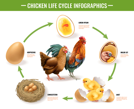 Ilustración de Chicken life cycle stages realistic infographic composition from fertile eggs embryo development to hatching chicks vector illustration - Imagen libre de derechos