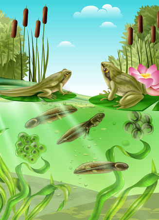 Ilustración de Frog life cycle water stages realistic poster with adult amphibian eggs mass tadpole with legs vector illustration - Imagen libre de derechos