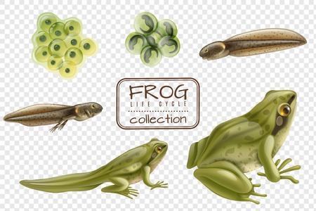 Ilustración de Frog life cycle stages realistic set with adult animal fertilized eggs tadpole froglet transparent background vector illustration - Imagen libre de derechos