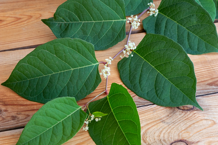 Photo for Blooming Japanese knotweed branch on a table - Royalty Free Image