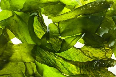 Photo pour wet seaweed kelp   laminaria   surface close up macro shot texture  - image libre de droit
