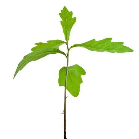 Photo pour Sprout a young oak tree on white background - image libre de droit