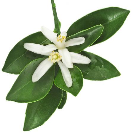Photo pour citrus blooming branch close up isolated on white - image libre de droit