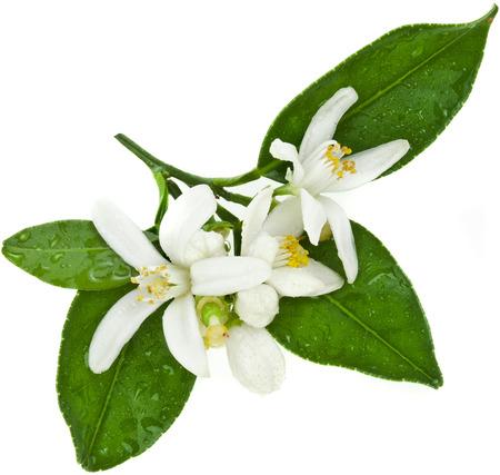 Foto de citrus blooming branch close up isolated on white - Imagen libre de derechos