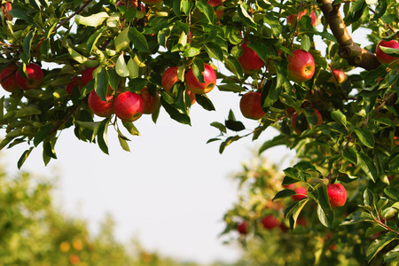 Foto per apple tree in an orchard - Immagine Royalty Free