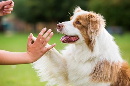 Photo pour girl gives an Australian Shepherd dog high five - image libre de droit
