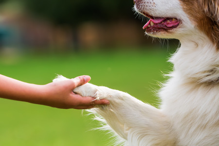 Photo for Australian Shepherd dog gives a girl the paw - Royalty Free Image