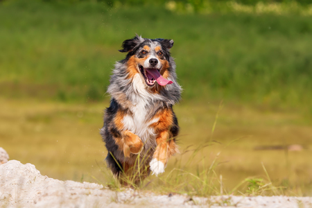 Photo pour picture of an Australian Shepherd dog who runs outdoors - image libre de droit
