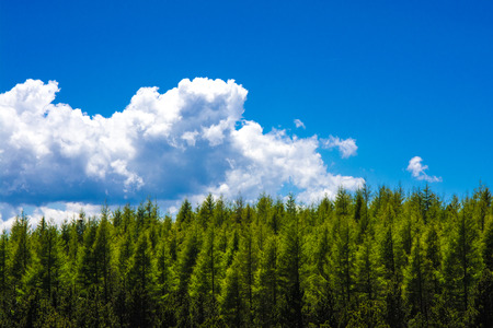 Photo for Fir forest against blue sky in the French Pyrenees - Royalty Free Image