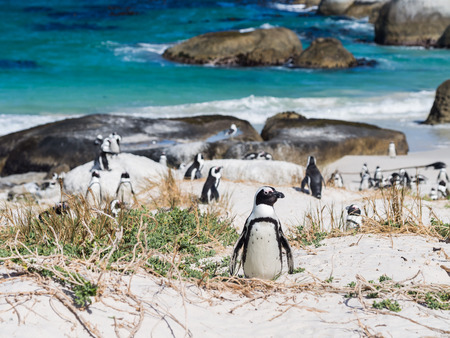 Photo pour Colony of African penguins, also known as jackass penguins or black-footed penguins, on Boulders beach in in Simon\'s Town, South Africa, in February. One penguin in focus. Landscape orientation, blue sky in the background. - image libre de droit