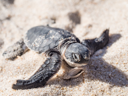 Photo for Small green sea turtle Chelonia mydas - Royalty Free Image