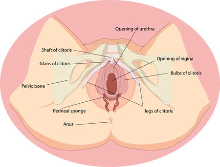 Ilustración de Vector illustration of Female reproductive organs anatomy - Imagen libre de derechos