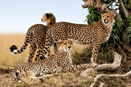 Cheetah mother and two young ones looking for food Masai Mara Kenya mural