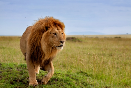 Beautiful Lion Long in Masai Mara, Kenya