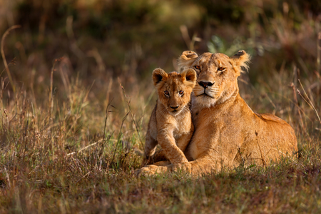 Photo for Lion mother of Notches Rongai Pride with cub in Masai Mara, Kenya - Royalty Free Image
